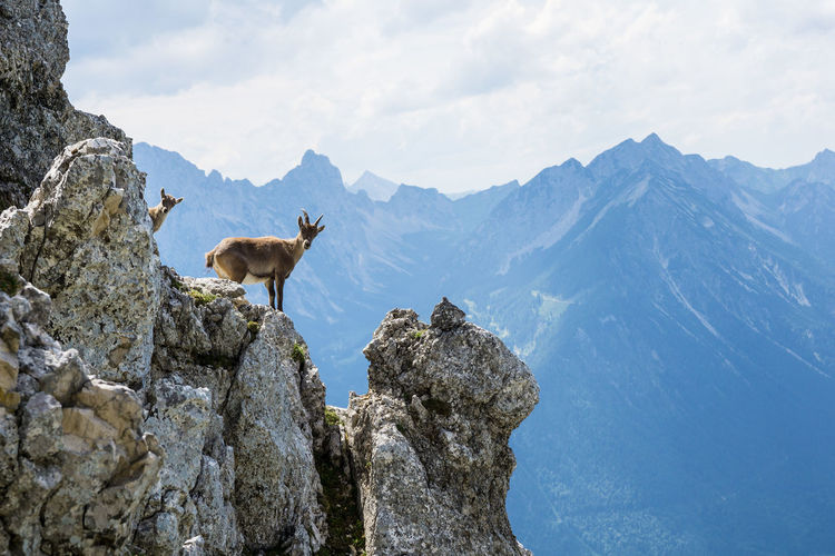 Alpine ibex with a young Mountain Animal Animal Themes Sky Rock Rock - Object Animal Wildlife Animals In The Wild Solid Beauty In Nature Mountain Range Mammal Vertebrate Nature Cloud - Sky Scenics - Nature Day No People Tranquil Scene Outdoors Herbivorous Formation Alpine Ibex Ibex Two Animals Alps Tyrol Austria