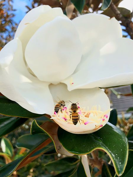 bee pollenating flower Magnolia Animal Themes Animals In The Wild Beauty In Nature Bee Close-up Day Flower Flower Head Fragility Freshness Growth Insect Leaf Nature No People One Animal Outdoors Petal Plant Pollen Pollenation White Color
