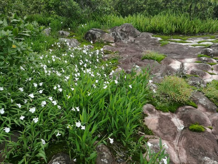 Nature Day Grass No People Green Color Outdoors Water Growth Beauty In Nature Close-up Freshness Caulokaempferia Alba K.Larsen Green Color White Flower Blooming Beauty In Nature Grass Freshness Moss Covered Rocks Flower Nature