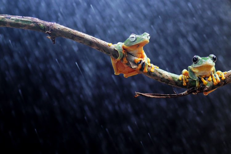 tree frogs on twigs Focus On Foreground Animal Themes No People Close-up Day Animal Animal Wildlife Nature Wood - Material Outdoors Animals In The Wild Branch One Animal Representation Water Tree Frog Crab Animal Representation