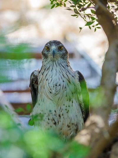 Portrait of long-legged buzzard by tree
