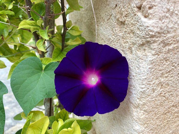 Lila Wall Plant