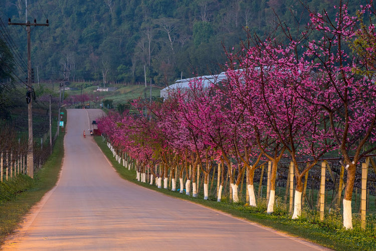 Plant Tree Beauty In Nature Flower Road Flowering Plant Growth Nature Transportation The Way Forward Direction Tranquil Scene Tranquility No People Scenics - Nature Pink Color Blossom Freshness Springtime Day Outdoors Diminishing Perspective Cherry Tree Cherry Blossom Treelined