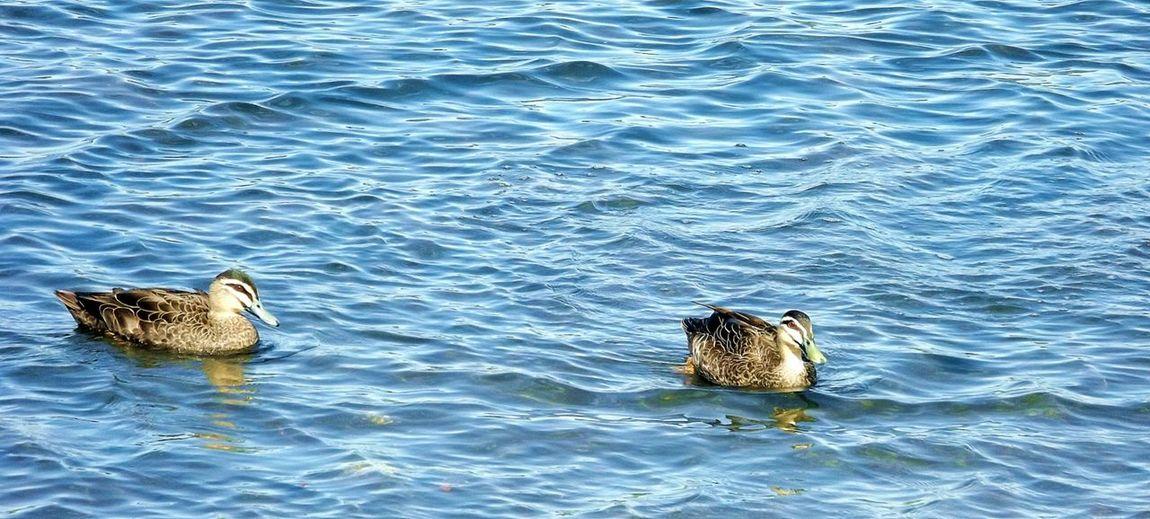 Water Birds Ducks At The Park Lake