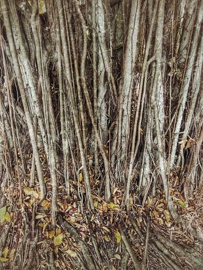 Root Roots Roots Of Tree Banyan Tree Roots Banyan Tree Trunk Banyan Root Banyan Tree Banyan Root Of Banyan Tree Root Of A Tree Root Of The Tree Root Of Tree Nature Nature Photography Nature Collection Beauty Of Nature