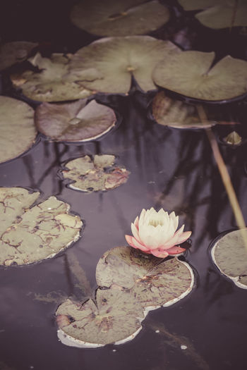 Aquatic Plant Beauty In Nature Flower Lily Pads Pond Pond Life Reflections Water Water Lily