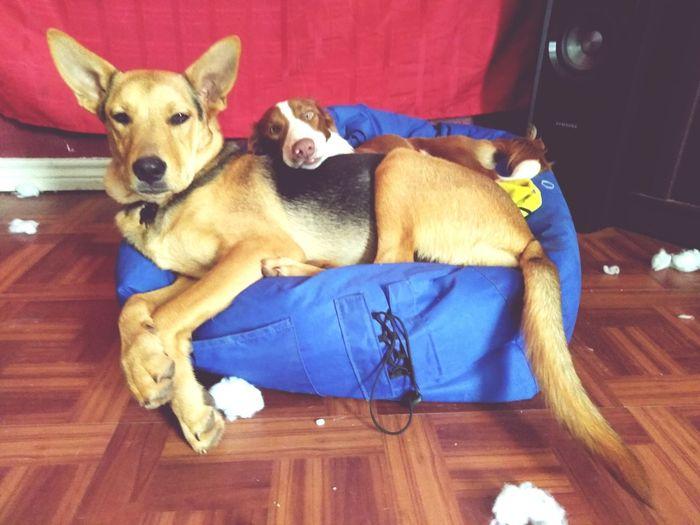 Cuddle buddies! Cutiepie ♡ Puppy Lying Down
