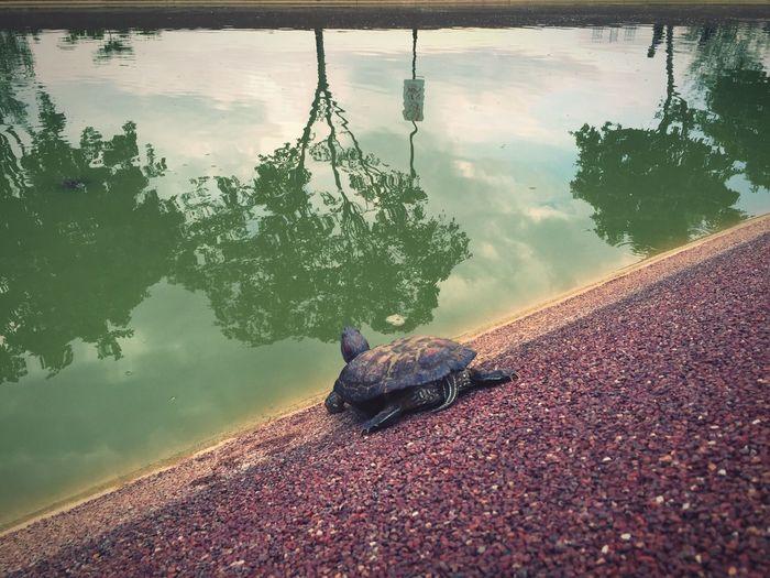 Keep Going  Perserverance Determination Tortoise Terrapin Punggol