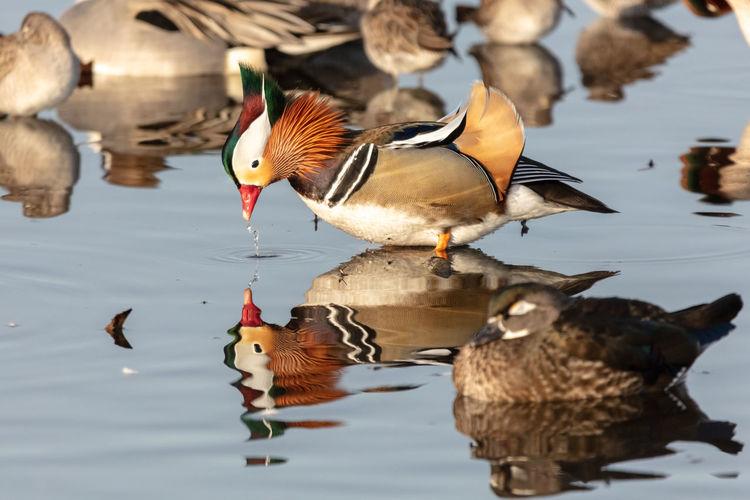 Male mandarin duck in a lake
