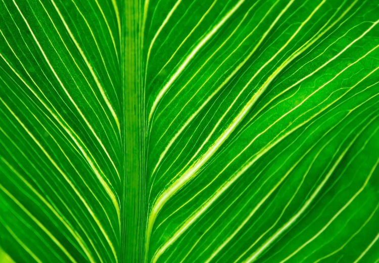 Leaf closeup texture background. Green leaf with veins for background texture. Backgrounds Botany Close-up Day Fern Freshness Frond Full Frame Green Color Growth Intricacy Leaf Nature No People Outdoors Palm Leaf Palm Tree Pattern Plant Satisfaction Summer Textured  Tree Tropical Climate Vibrant Color