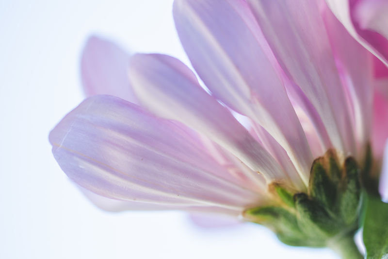 Close-up of pink flower against white background