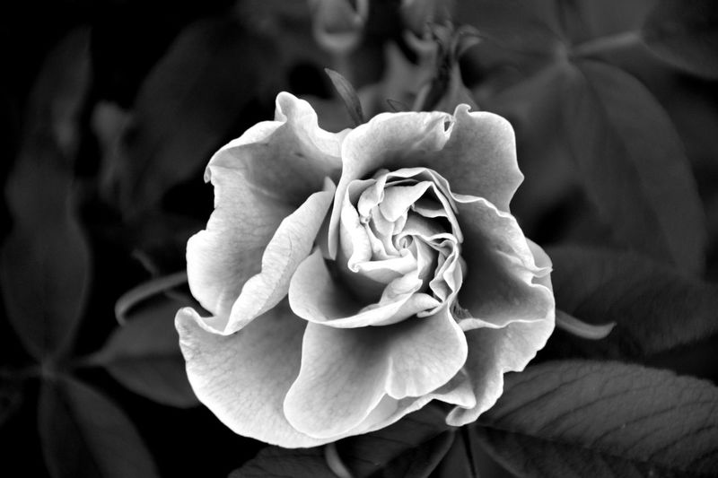 Beauty In Nature Black & White Black And White Black And White Rose Blackandwhite Blooming Close-up Day Flower Flower Head Flowers Fragility Freshness Growth Love Monochrome Monochrome Photography Nature No People Outdoors Petal Plant Rose - Flower Rose Petals Roses