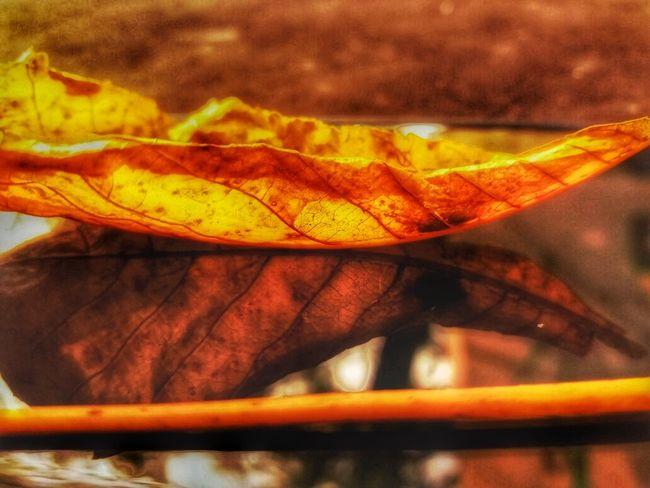 Leaf Autumn Change Close-up Maple Leaf Orange Color Nature Leaves No People Fragility Beauty In Nature Outdoors Day Maple BEYKOZAYRICALIKTIR. 😌😌😌 Beykoz Beykoz, Turkey, Turkish, ıstanbul, Asia, Asian, Middle East, Black Sea, River, Riva, Riva River, Water, Winter, Season Istanbul City Beykoz İstanbul Autumn🍁🍁🍁 Autumn