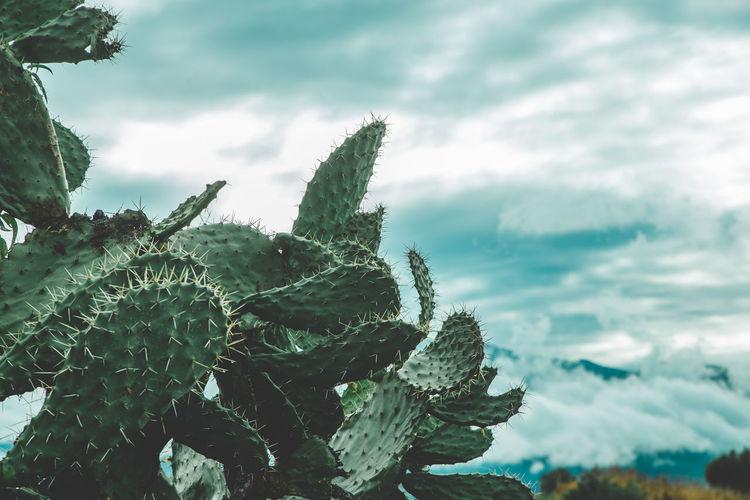 Cactus in africa