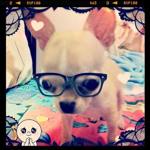 Nerdy look..LOL Chihuahua Applehead Pets Petstagram petoftheday dogs dogstagram dogoftheday dogofthedayjp popular popularpage webstagram igers igerscebu igersmanila igerspinoy igfusion iphoneography