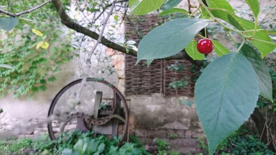Fruit Outdoors Tree Leaf Day Food And Drink Healthy Eating No People Plant Growth Food Nature Branch Freshness Beauty In Nature Close-up Village Simple Life Every Little Things Summer July