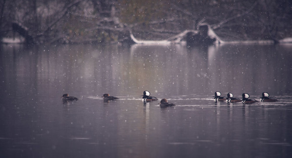 Reflection Beauty In Nature Tranquility Animal Themes Lake Nature Hooded Merganser Wildlife Birds My Point Of View Riverside Riverside Photography Nature Wildlife Photography Waterfront Animal Wildlife Wintertime Winter Colors Winter Wildlifephotography EyeEm Nature Lover