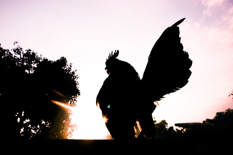 Rooster Roosters Silhouette Sunset Nature Heat - Temperature Outdoors Domestic Animals EyeEmNewHere Pets Nature EyeEm Nature Lover Everning Chicken - Bird Chickens >.<