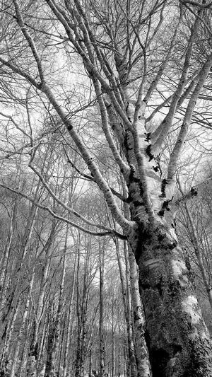 bianconero Tree