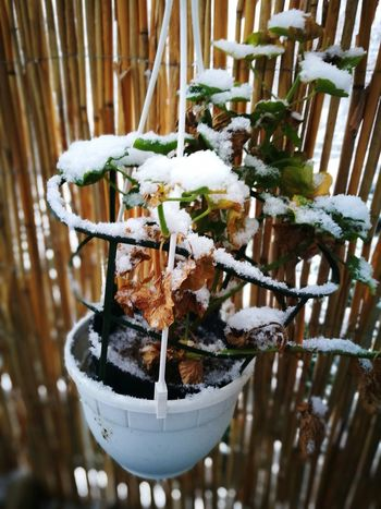snowflower EyeEm Selects Hanging Winter Plant Potted Plant Snow Cold Temperature