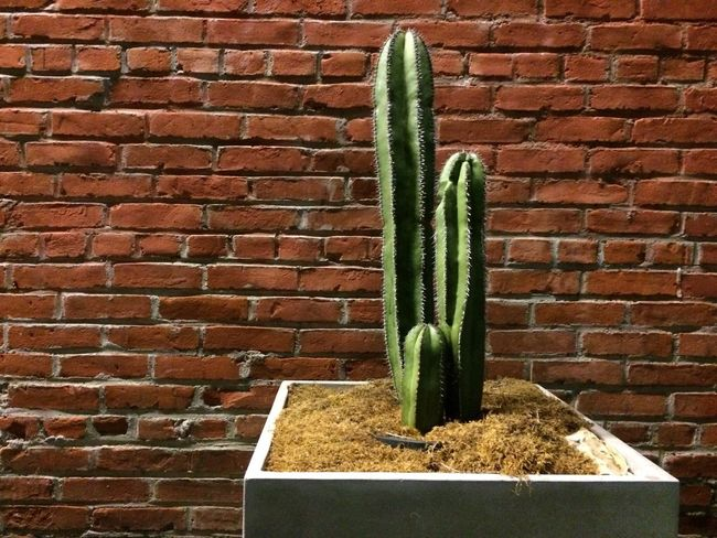 Cactus Nature Brick Wall Cactus Green Red Wall First Eyeem Photo Abbot Kinney Los Angeles, California