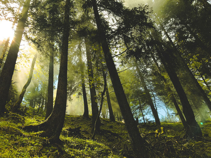 a scene in the forest Green Color Beauty In Nature Brightly Lit Day Dust Fog Forest Growth Land Low Angle View Nature No People Non-urban Scene Outdoors Plant Scenics - Nature Streaming Sunbeam Sunlight Tranquil Scene Tranquility Tree Tree Trunk Trunk WoodLand Capture Tomorrow