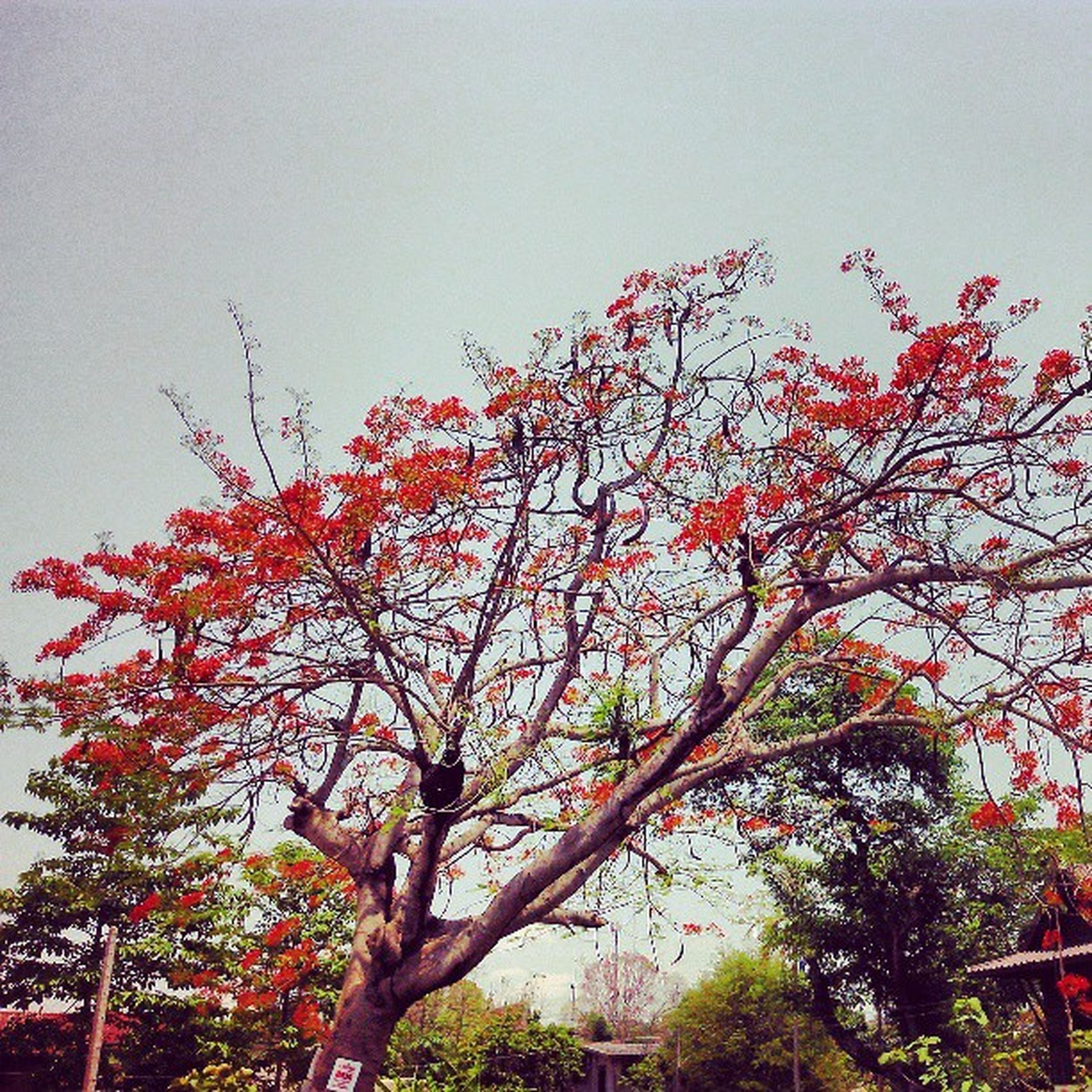 tree, low angle view, clear sky, growth, branch, beauty in nature, nature, flower, red, autumn, sky, copy space, day, change, built structure, building exterior, season, freshness, outdoors, no people