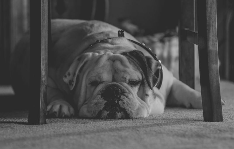 Animal Body Part Animal Head  B & W  Black And White Bulldog Bulldoglove Bulldogs Canine Close-up Day Dog Dogs Dogs Of EyeEm Domestic Animals English Bulldog Focus On Foreground Lying Down No People Pets Portrait Relaxation Resting Selective Focus Pet Portraits The Week On EyeEm Monochrome Photography
