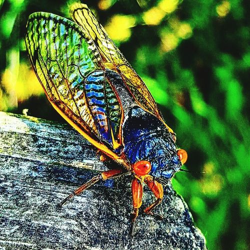 Cicada Insects
