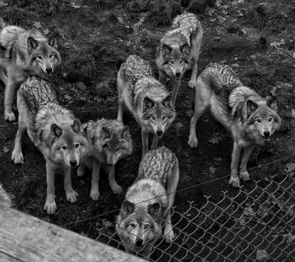 Wolf Animal_collection Animal Animals Streamzoofamily EyeEm Nature Lover Wildlife & Nature Check This Out EyeEm Best Shots Nature Photography The Great Outdoors The Great Outdoors - 2015 EyeEm Awards EyeEm Best Shots - Nature Enjoying Life Capture The Moment Bnw Black & White Black And White Countryside Monochrome