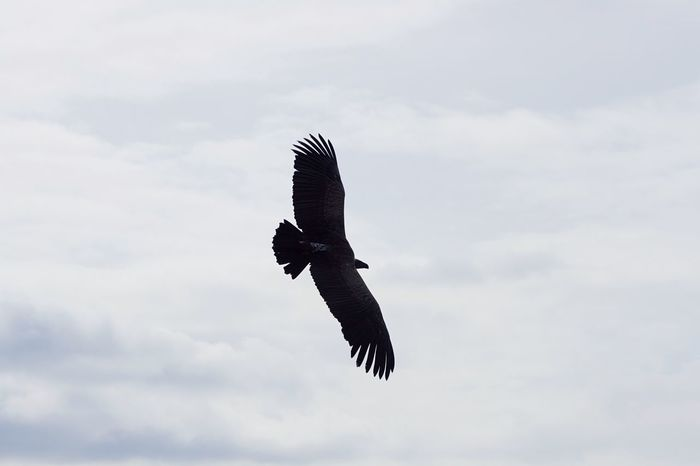 EyeEm Selects Vulture. Bird Flying Sky One Animal Low Angle View Spread Wings Animal Themes Nature Cloud - Sky Animal Wildlife Outdoors Mid-air No People Day Beauty In Nature Bird Of Prey Vulture Vulture Flying Vulture Spreading Wings Vultures Soaring