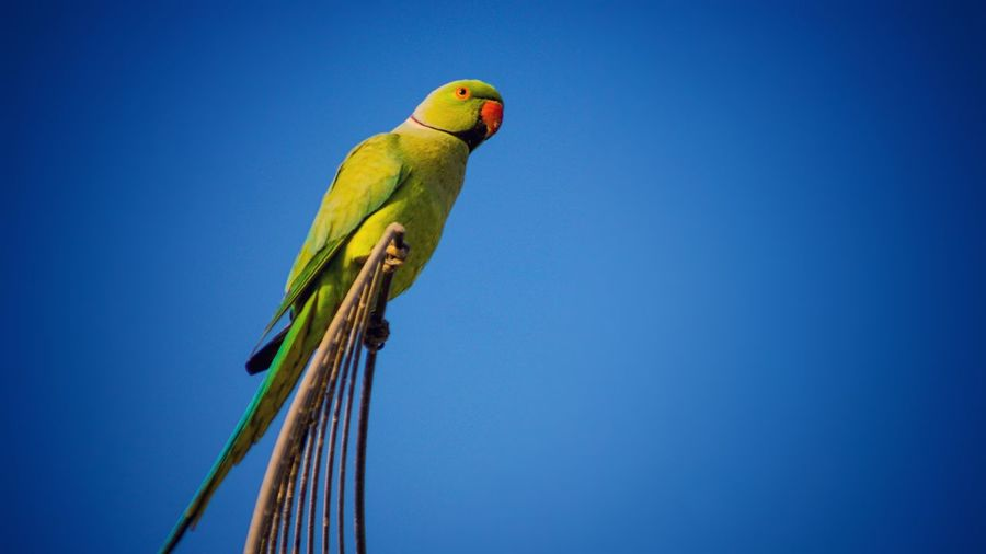 Low angle view of parrot perching on blue sky