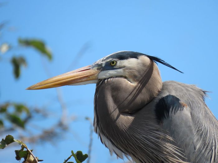 Great blue heron profile long pointy yellow beak close up blue sky focus on the foreground Birds of EyeEm beauty in nature outdoors Animal Themes Bird One Animal Side View No People