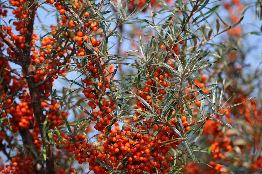 Beeren Beerenfrüchte Sanddorn Beauty In Nature Berry Fruit Branch Close-up Day Focus On Foreground Food Food And Drink Freshness Fruit Growth Healthy Eating Leaf Nature No People Orange Color Outdoors Plant Plant Part Red Ripe Rowanberry Sanddornsträucher Tree