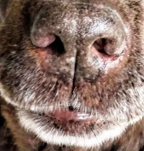 Labrador Brown Labrador  Dognose Close-up Adorable Dog Fresh On Eyeem  The Week On Eyem Beauty In Nature Love To Take Photos ❤ LabradorLove Nose Of A Labrador The 00 Mission Dog Nose Dog Nose Best Dogs Of EyeEm Dog❤ Dog Portrait Dog Close-up Dog Lover Dog Of The Day Dogphoto Dog Dog Snout Dog Photoshoot Dog Photo Of The Day