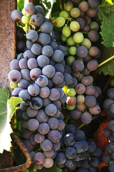 Grape Fruit Vineyard Bunch Vine - Plant Winemaking Wine Food And Drink Crop  Outdoors Healthy Eating No People Food Green Color Winery Day Growth HD Close-up Grapes🍇 Grapes Canon 1000D Beauty In Nature Leaf Hanging EyeEm Selects