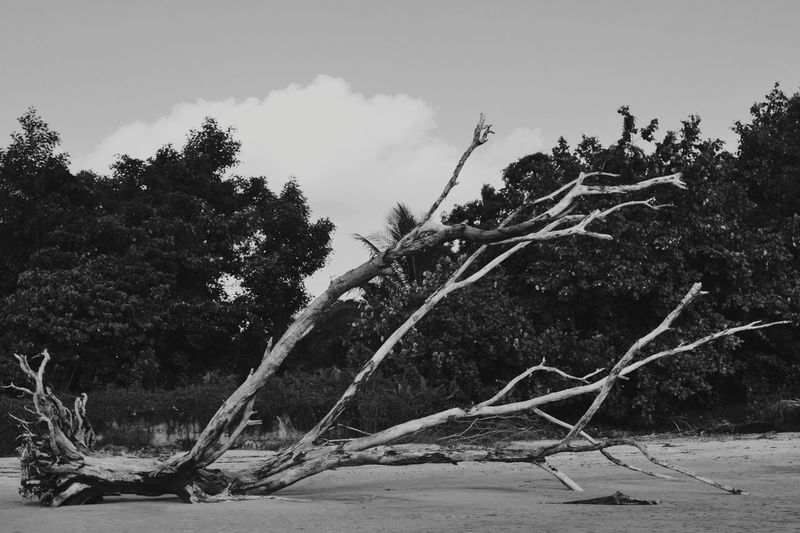 Nature No People Beauty In Nature Day Sky Tree Oldtree Beach Outdoors Water Landscape Nikon Nikonphotography VSCO Sarawak Borneo Landofhornbills Beauty In Nature Naturelovers Blackandwhite Black And White Photography