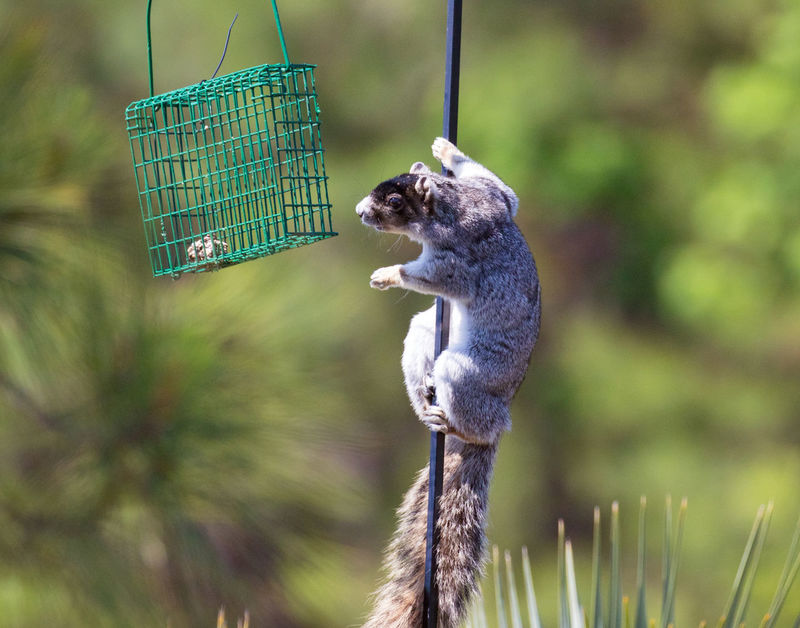 Squirrel looing for food Animal Animal Themes Animal Wildlife Animals In The Wild Bird Feeder Close-up Day Focus On Foreground Hanging Holding Land Mammal Metal Nature No People One Animal Outdoors Plant Vertebrate