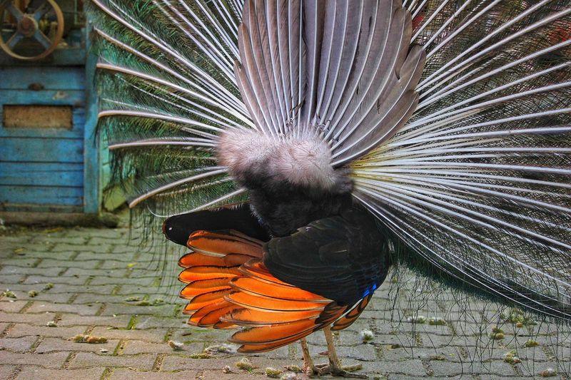 Pfau Rückseite Pfau Animal Animals Tiere // Animals Tiere Tier Birds Bird Po Von Einem Tier