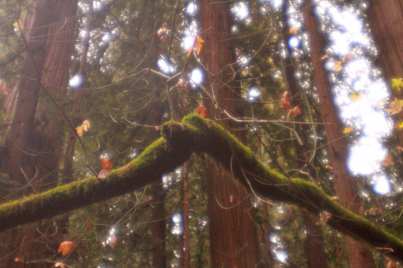 Afternoon Bend Bent California California Redwoods Dreamy Forest Golden Hour Green Moss Nature Northern California Plastic Lens Red Redwoods Trees V