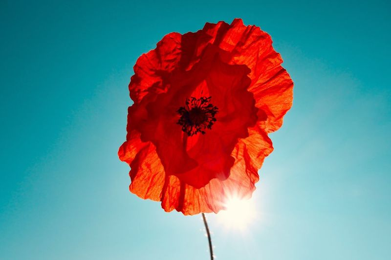 Poppy Flower Poppy Flowering Plant Flower Red Sky Nature Low Angle View Plant Flower Head Close-up Inflorescence Blue Sunlight Vulnerability  No People Day Freshness Fragility Outdoors Petal Beauty In Nature