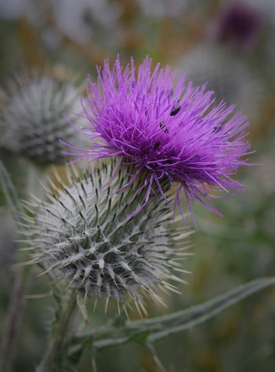 Thistle with
