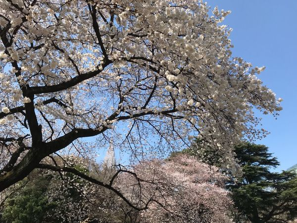 Sakura Blossom 桜 新宿御苑 Tree Low Angle View Plant Sky Growth Beauty In Nature Nature