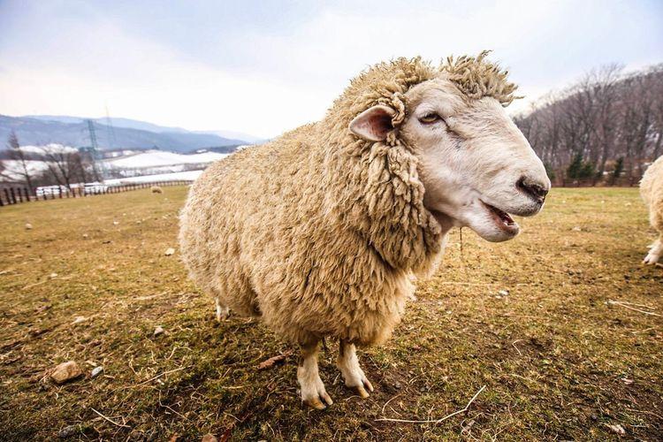 Sheep EyeEm