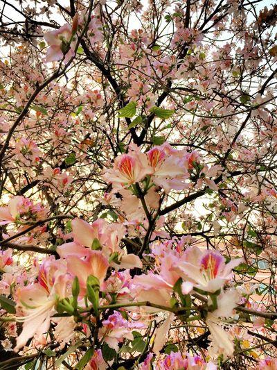 紫荆花开的季节