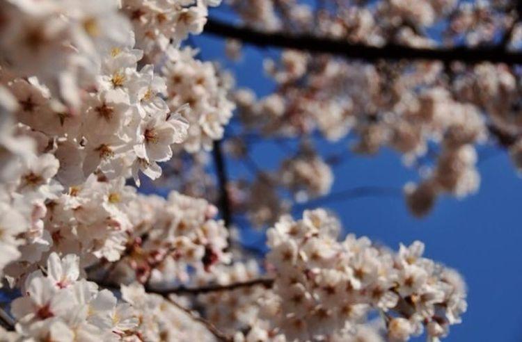 Walking Around Sakura Japan
