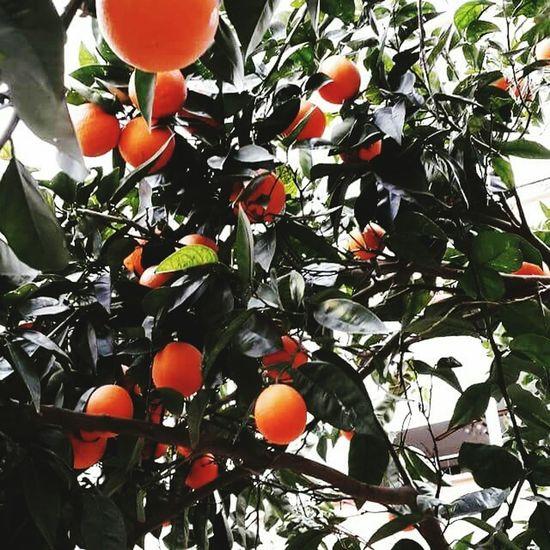 Bahar Aşk PortakalAgaci Portakalçiçeği