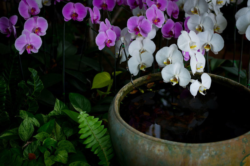 Orchid Beauty In Nature Close-up Day Flower Flower Head Fragility Freshness Garden Growth Leaf Nature No People Outdoors Periwinkle Petal Plant Potted Plant Tropical Garden Tropical Plants