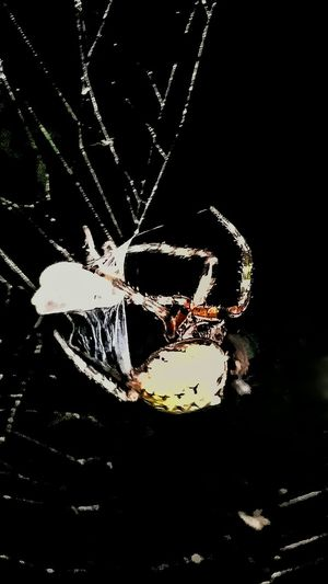 Spiderweb Spider On Web Spider Spider Web Spider Hunting Night Spider Eating Wrap Insects  Animals Spider Catching Insect Eating Web Natures Diversities Animal Art Animal Artwork Insects At Night Eating Bugs Eating Dinner Animal Fresh Food Silk Macro Showcase July Overnight Success