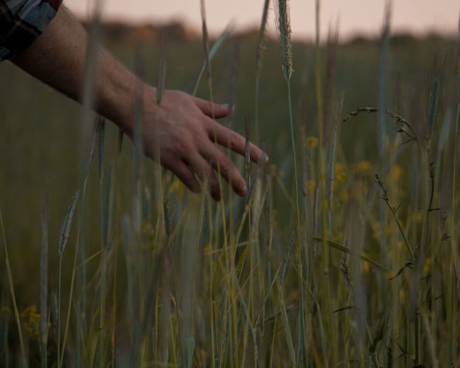 Cropped hand of man touching crops on field during sunset